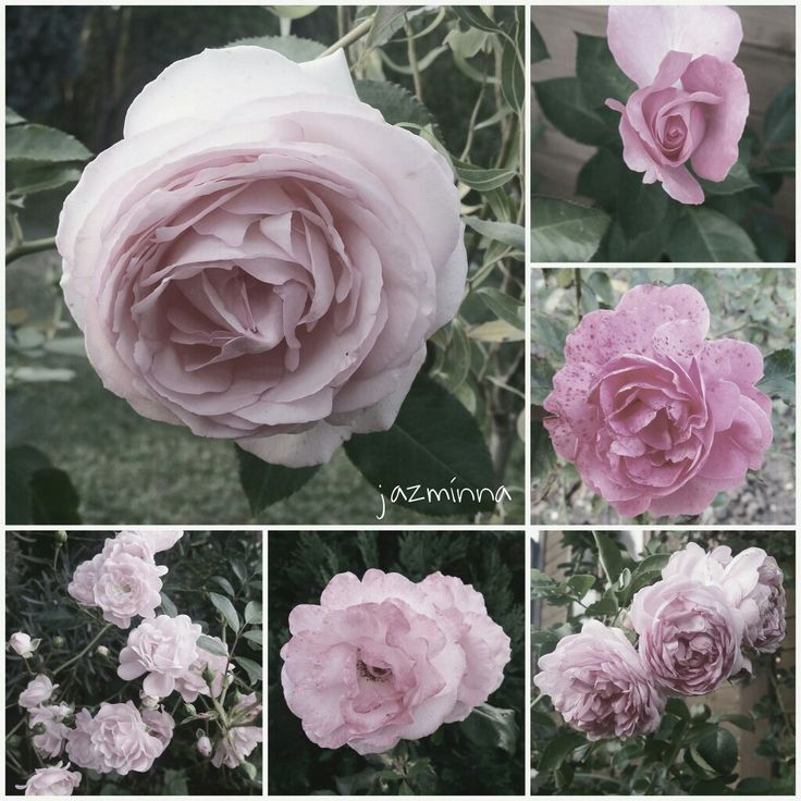 ...my roses https://www.instagram.com/p/BKdvFNtD4zj/