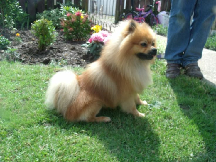 pomeranian history 99 best images about pomeranian dogs on pinterest 2270