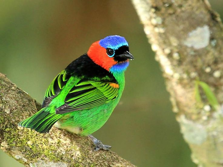 Red Necked Tanager Tangara Cyanocephala What A Beauty