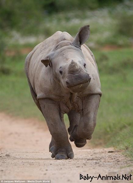 Funny Rhino Black Rhino Must Be Saved Pinte