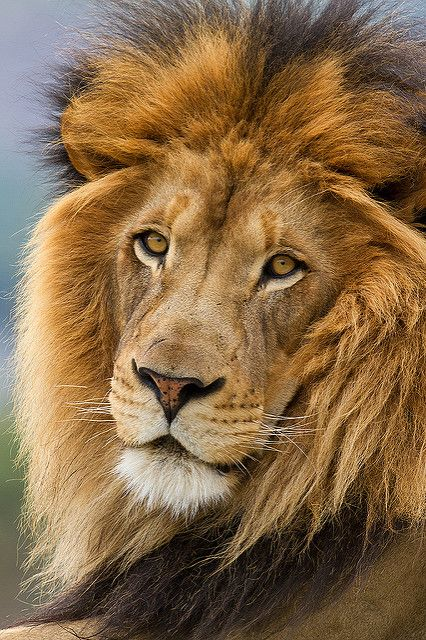 Izu_MG_2554 | Izu posing in Lion Camp at the San Diego WIld … | Flickr