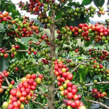 ~Coffea arabica (Coffee)  ~Rubiaceae  ~Traditional: stimulant, diuretic  ~Phytochem: caffeine methyxanthine alkaloid  ~Activity/MOA: stimulant, hunger suppressant, anti-fatigue, influence hormonal balance, antioxidant for cardio/inflammatory disease