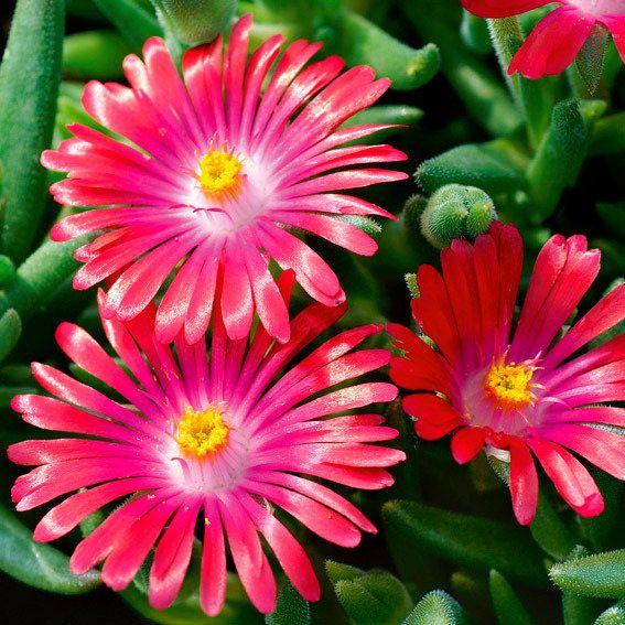 Mittagsblume Pink Ribbon