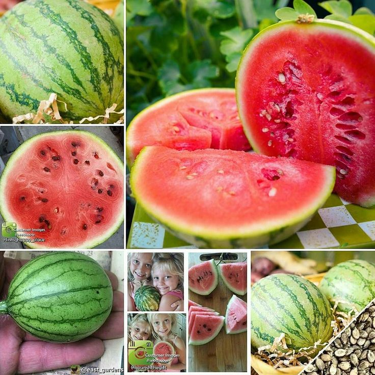 """LAST CHANCE! SWEEPSTAKES ENDS TONIGHT.  Enter to Win our FREE SEED GIVEAWAY This Week! We're giving away a FREE Large Pack of Sugar Baby Watermelon Seeds! This popular and early """"Icebox"""" variety produces uniform 8"""" round sugar baby heirloom watermelons. Each fruit weighs appx. 8 - 12 lbs.! This variety is very drought resistant and will thrive in hot temperatures with direct sun-light. Enter to WIN: http://ift.tt/1BP7hs6  #save #seeds #nongmo #heirloom #organicgardening #containergardening…"""