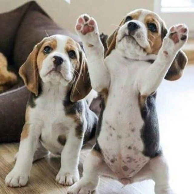 #dogs #pups #Beagles