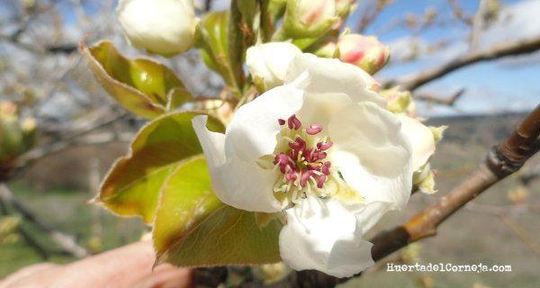 Flores del peral de Aranjuez