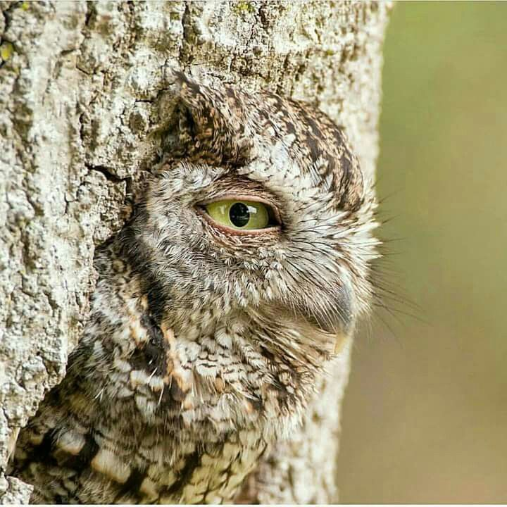 Amazing photograph.   At first you only see the owl eye but the longer you look at it the more you see of the bird that it perfectly blended into its hideyhole.