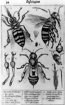The oldest published image known to have been made with a microscope: bees by Francesco Stelluti, 1630[1]