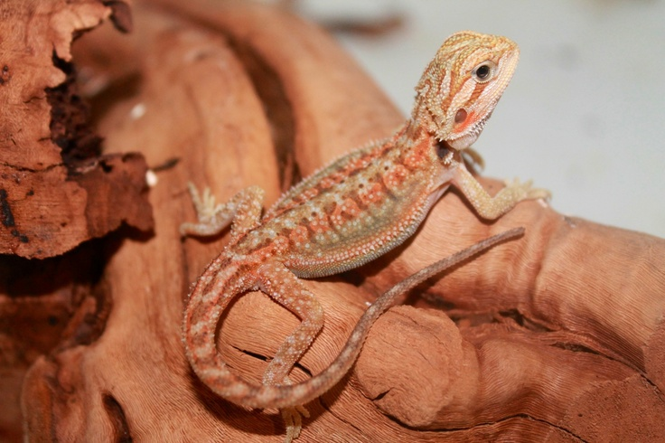 1000 Images About Beardies On Pinterest Out 1 Iguana Cage And Zoos
