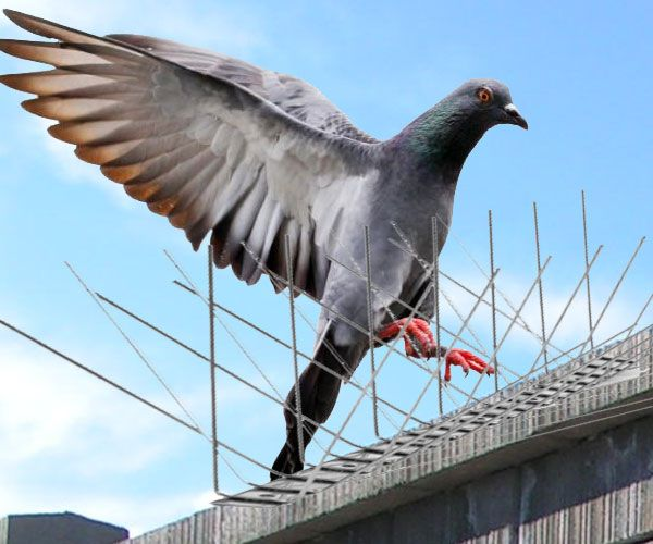 #PigeonSpikes are not meant to really harm the birds or injure them, but are used to keep pigeons away by blocking a particular area. Read more: http://www.123articleonline.com/articles/995667/is-using-pigeon-spikes-in-india-a-safe-method-for-effective-bird-control