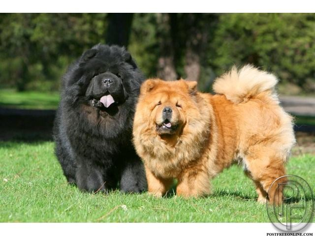 Chao Chao Dog Breed For Sale In Mumbai Maharashtra India In Pet
