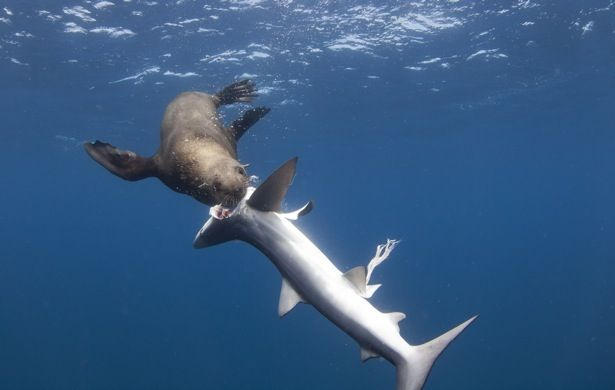 Shark-eating seal among rare and stunning scenes documented off South Africa