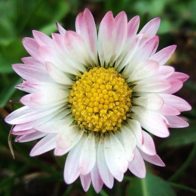 Bellis perennis English Daisy