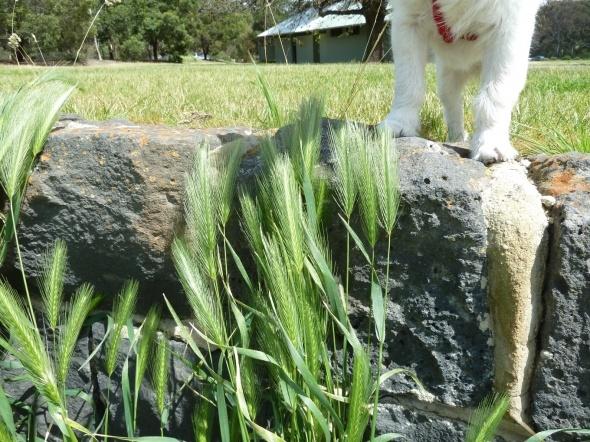 Barley dog.