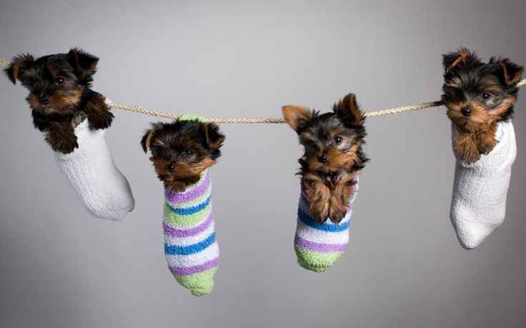 Photographer Stephan Brauchli popped these Yorkshire terriers into socks to get a special 'family' shot of them.