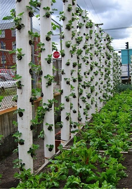vertical strawberriesGardens Ideas, Woodworking Projects, Strawberries Gardens, Plants Strawberries, Vegetables Gardens, Vertical Gardens, Pvc Pipe, Strawberries Towers, Hanging Gardens