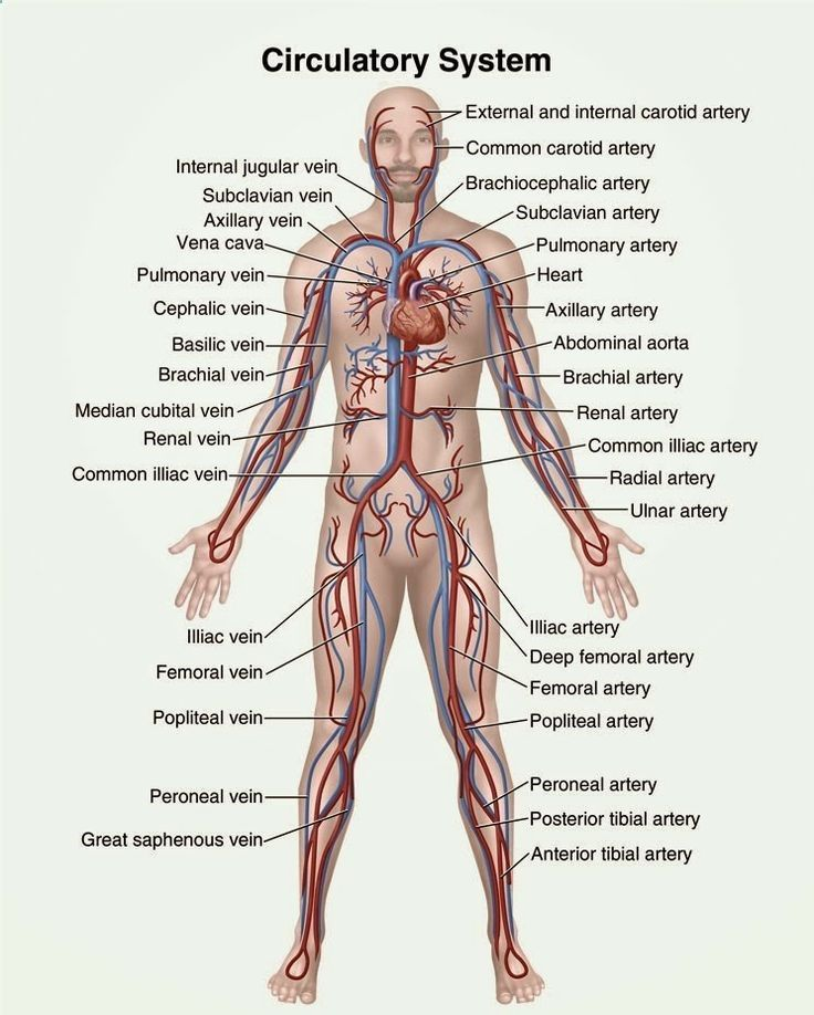 human anatomy and physiology diagrams circulatory system diagram rh pinterest com