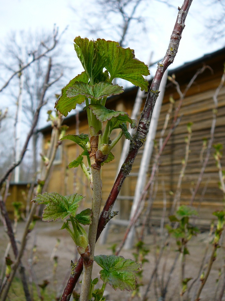 Viinimarja on herännyt kevääseen/ A black currant is awake and waiting for summer.