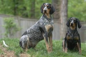 blue tick hound photo   Bluetick Coonhound Information, Pictures of Bluetick Coonhounds ...