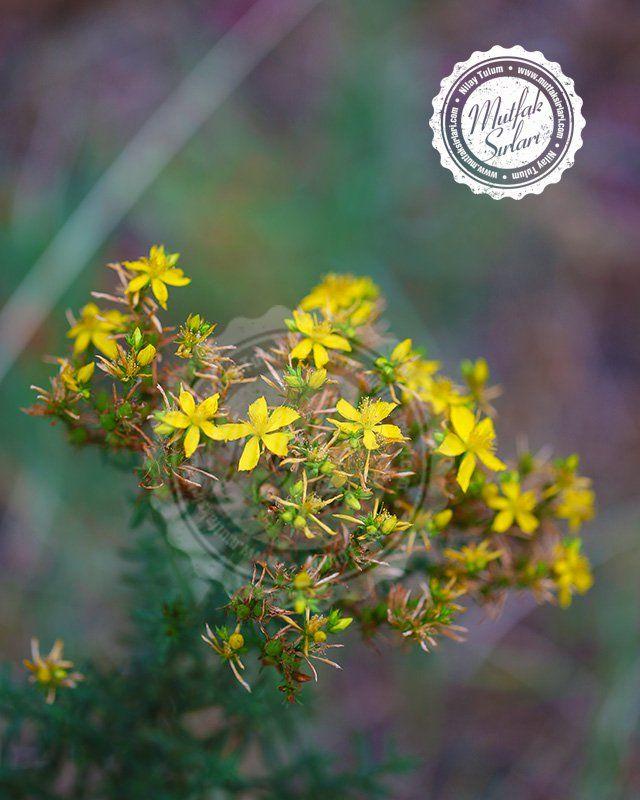 Sarı Kantaron Yağı ve Faydaları | Mutfak Sırları