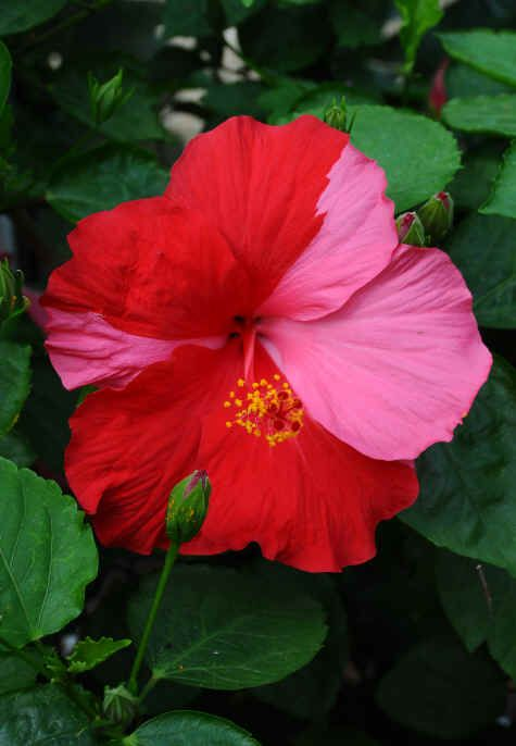 pink & red hibiscus - my favorite flower!