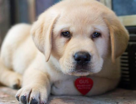 Cute yellow lab... doesn't he make you smile?