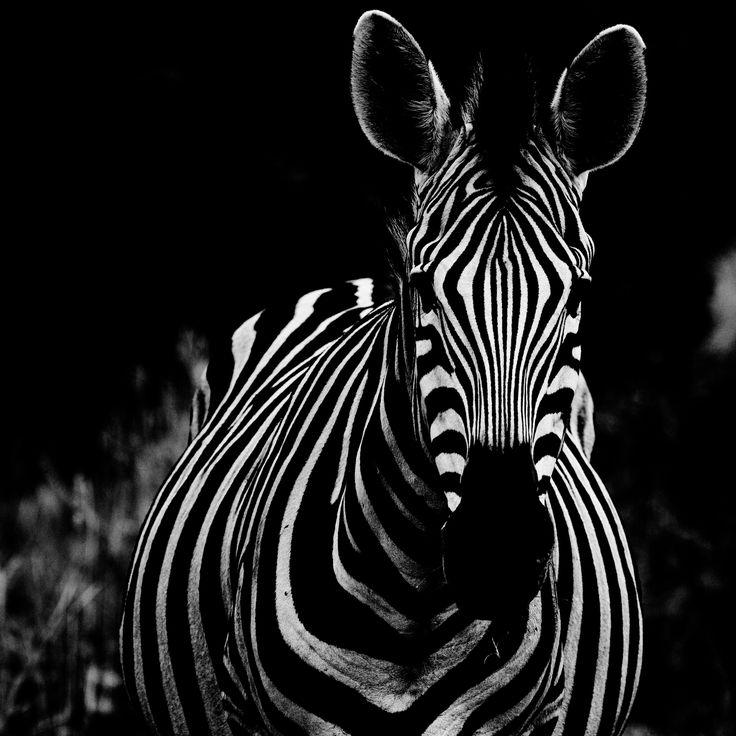 Hypnotic Zebra Patterns