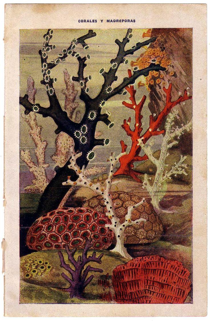 1897 Antique Coral Reef Illustration.