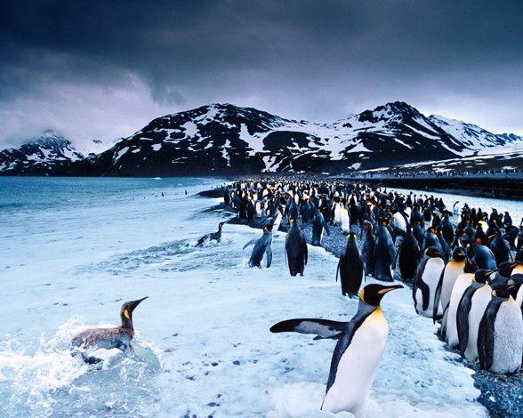 Fantástica toma de una gigantesca colonia de pingüinos rey (Aptenodytes patagonicus) en periodo de reproducción en la bahía de St. Andrew, en Georgia del Sur. Este tipo de pingüinos es el más grande en tamaño después del pingüino emperador (Aptenodytes forsteri). Por Steve Bloom.