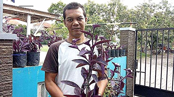Tanaman Hias Adam Hawa Ungu Hati Ungu Purple Heart Nanas Kerang Sap Garden Hidroponik Video Youtube Setiawanap Ok Temen Temen Pada Kesempatan Ini Vi In 2020