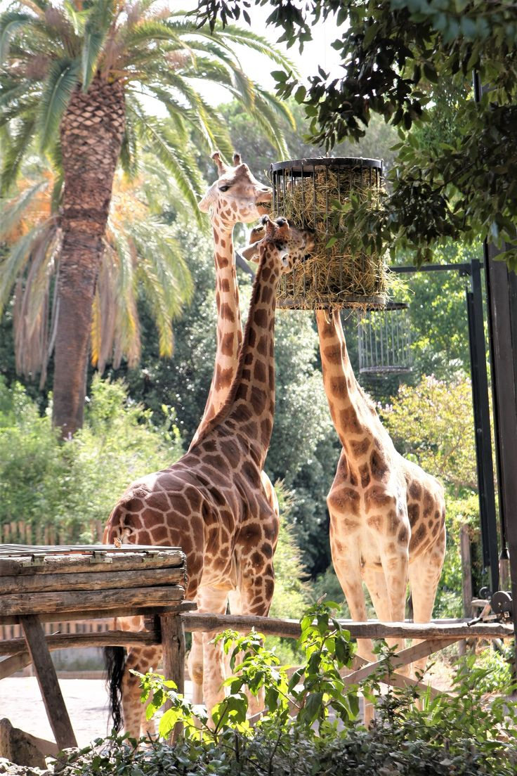 What to see in Rome? the giraffes @bioparco!