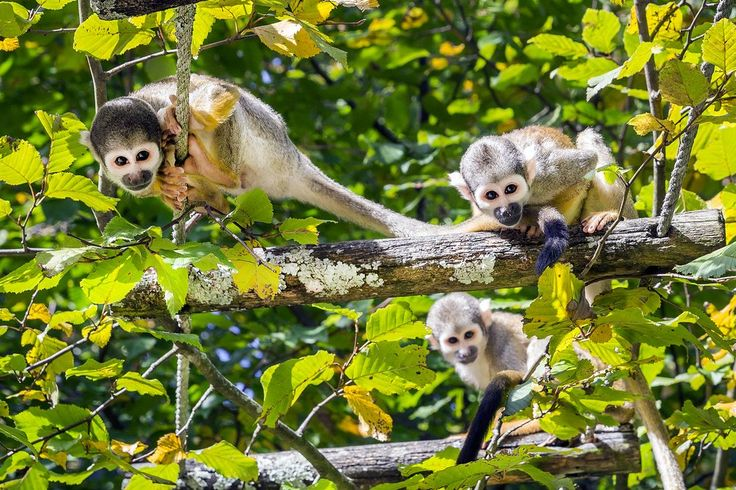 Three squirrel monkeys on the tree in the Amazon