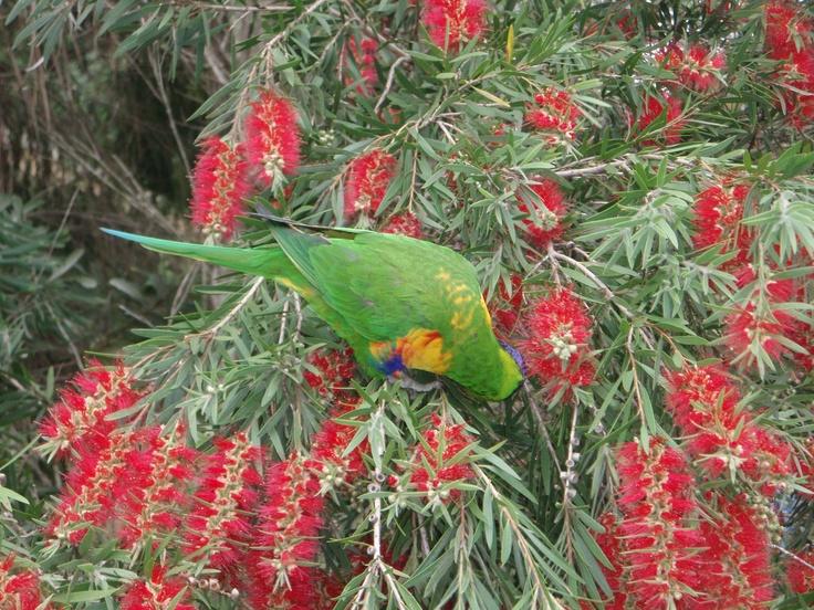 Australian flora and fauna Lorikeet sipping Bottlebrush nectare Photo by Cindy Dagger