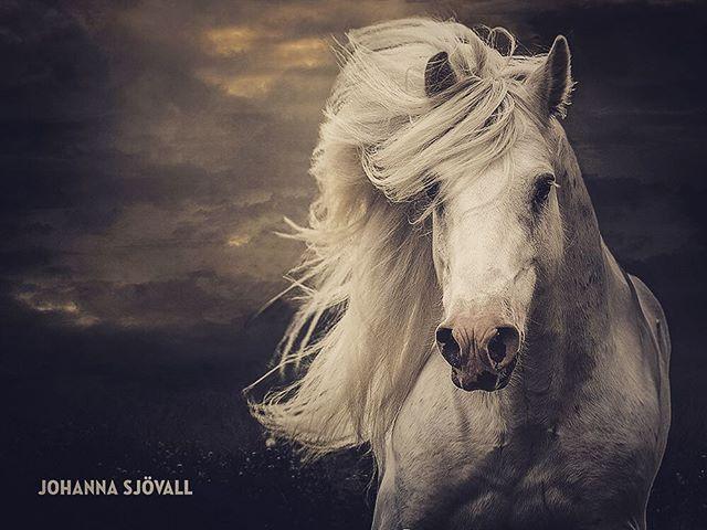 #equine #equinephotography #bestofequines #equinephoto #horse #stallion #horsephoto #horsephotography #horsephotographer #horseportrait #hevoskuva #hevoskuvaus #hevosvalokuvaus #hevonen #blueboss #hevosvalokuvaaja #johannasjovall