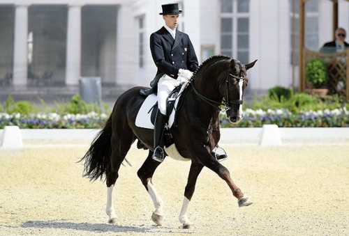 Blu Hors Don Schufro  1993 16.3 Liver Chestnut Oldenburg stallion.  More pictures:  here  here  here