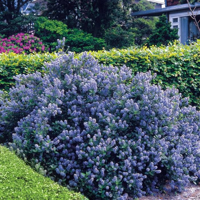 49 best beach style plants for northwest landscapes images on flowering shrubs hedge 5 hedge plants ceanothus yankee point blue mightylinksfo