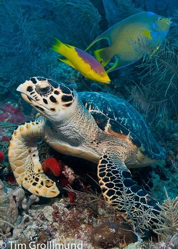 Sea turtles and brilliantly adorned tropical fish are common sights at Molasses Reef