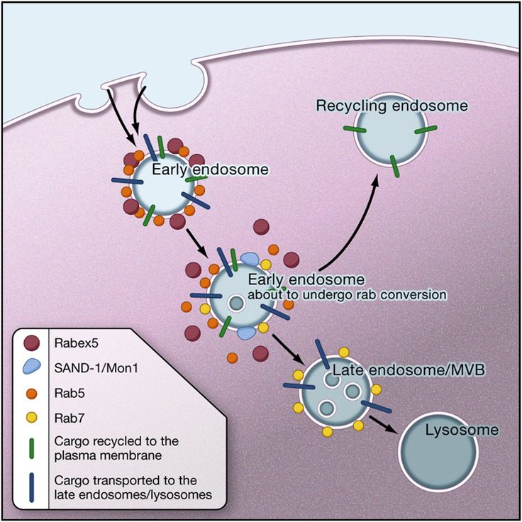 Image result for early endosome rab5