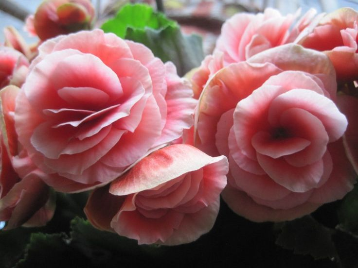 Fiori commestibili: #begonia  #Fiori #commestibili #edible #flowers #rose #rosa #roses #yellow #giallo #pink #white #bianco #gnam #cibo #food #eatflowers #mangiarefiori #flowerpower #iloveflower #amoifiori