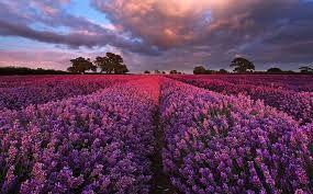 Keindahan Kebun Lavender Somerset Inggris – Mobgenic