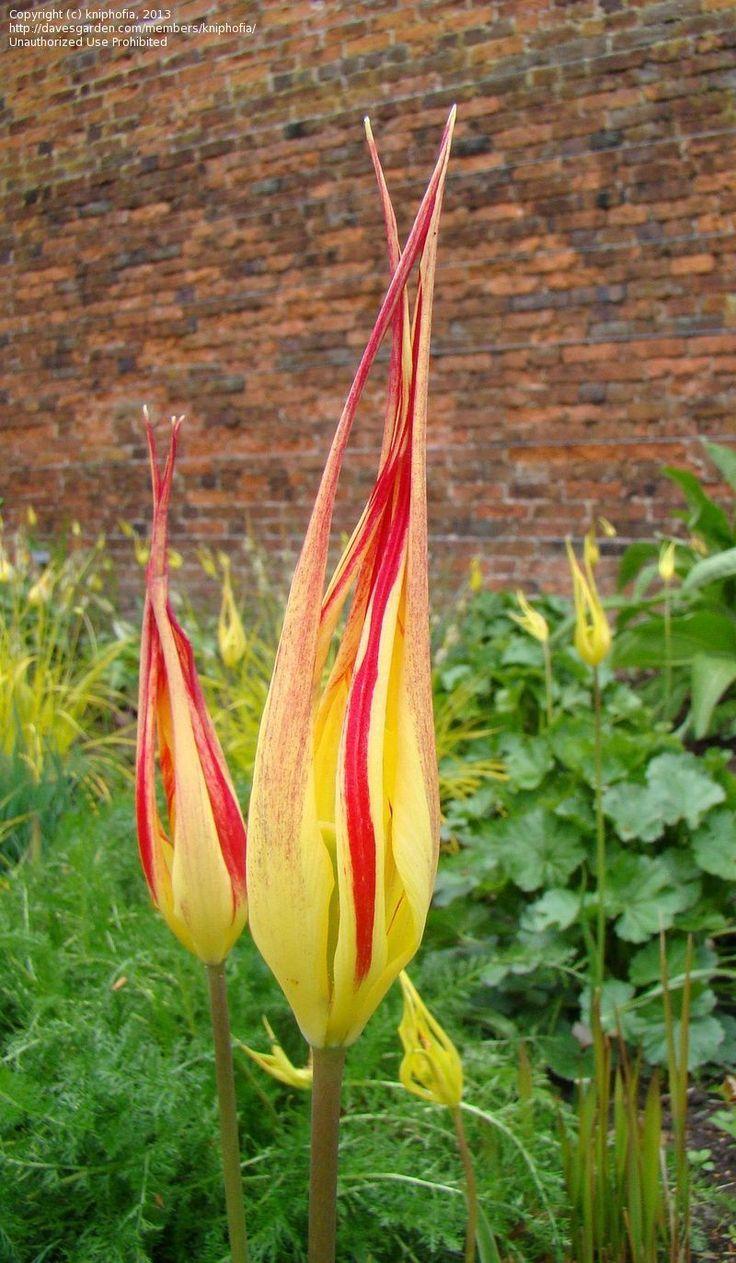 Full size picture of Turkish Tulip, Fire Flame (Tulipa acuminata)