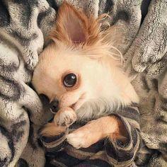 Chihuahua ❤️ amor