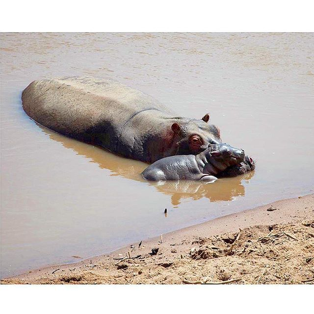 It's #NationalHippoDay! Did you know - hippopotamus means 'river horse'? Share your #hippo facts with us below 🇰🇪 #facts #wildlife #kenya #whyilovekenya #africa #nairobi #discoverthesafaricollection #motherandbaby #cute #nature #conservation #awareness