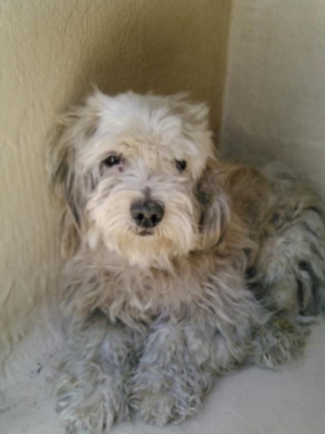Super Urgent San Antonio Tx Animal Id A493347 Male Poodle 3