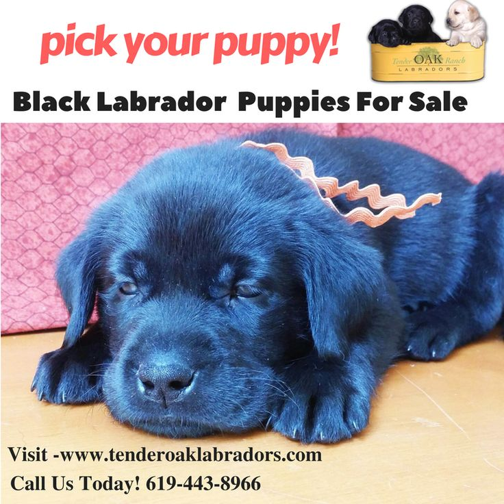 Black AKC Labrador Puppies For Sale In Southern California