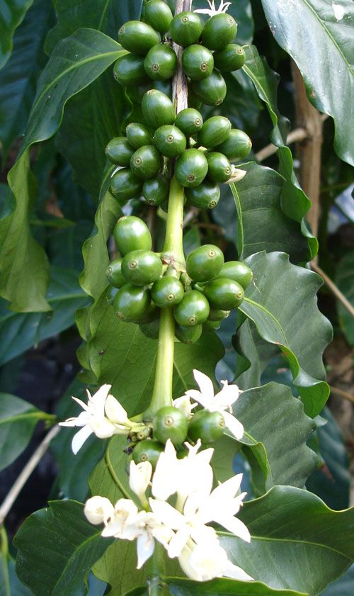 132 best Coffee growing images on Pinterest