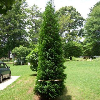 American Pillar Thuja Evergreen Tree - the perfect tree for privacy in small spaces. grow 20-30 ft tall and only 3-4 ft wide.