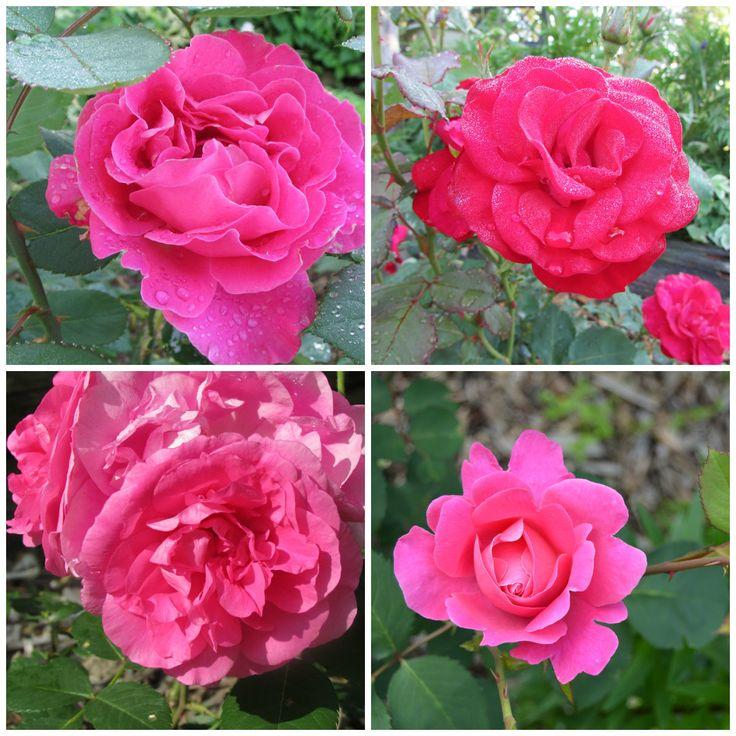 Kesän ruusuja!