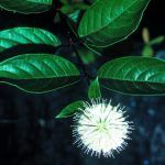 Information on Cephalanthus occidentalis (buttonbush): needs sun to flower; flowers fragrant; interesting fruit; tolerates drought; leaves may persist into winter; tolerates flooding to 36'...
