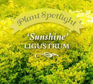 Plant Spotlight: 'Sunshine' Ligustrum
